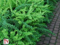 "Барбарис Тунберга ""Green Carpet"" (Berberis thunbergii) C2"