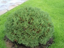 "Туя западная ""Tiny Tim"" (Thuja occidentalis), C2"