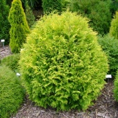 "Туя западная ""Golden Globe"" (Thuja occidentalis) С5"