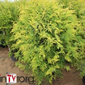 "Туя западная ""Golden Globe"" (Thuja occidentalis) С 20 Ø 1-1.1м."