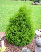 "Туя западная ""Micky"" (Thuja occidentalis) р9"