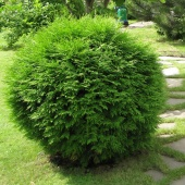 "Туя западная ""Woodwardi"" (Thuja occidentalis), С25"