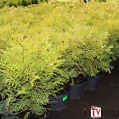 "Туя западная ""Woodwardi"" (Thuja occidentalis) C3 Ø 40см."