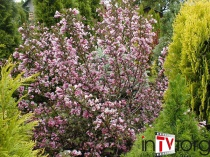 "Вейгела цветущая ""Nana Purpurea"" ( Weigela florida ) C2"