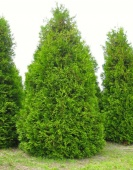 "Туя западная ""Frieslandia"" (Thuja occidentalis) С2-С3 35-40см."