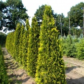 "Туя западная ""Aurescens"" (Thuja occidentalis), С35"