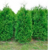 "Туя западная ""Brabant"" (Thuja occidentalis) P9 35-40см."