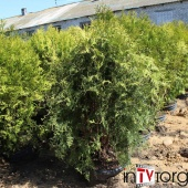 "Туя западная ""Wagneri"" (Thuja occidentalis) С 7.5  1-1.1м."