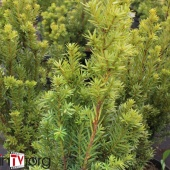 "Тис средний ""Hillii"" (Taxus x media), С3"