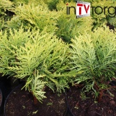 "Туя западная ""Danica"" (Thuja occidentalis) C3 Ø30"