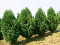 "Туя западная ""Wagneri"" (Thuja occidentalis), С3"