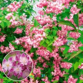 "Дейция гибридная ""Strawberry Fields"" (Deutzia x hybrida), С3"