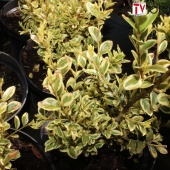 "Самшит вечнозеленый ""Aureovariegata"" (Buxus sempervirens) С2"
