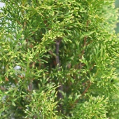 "Туя западная ""Smaragd Light"" (Thuja occidentalis) C2 35-40см."