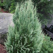 "Кипарисовик Лавсона ""White Spot"" (Chamaecyparis lawsoniana) С3"